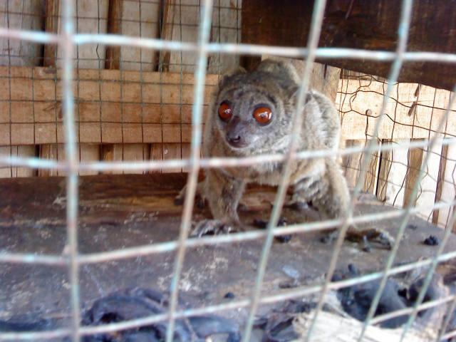 Madagascar : 28 000 lémuriens sont utilisés comme des animaux domestiques